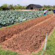 Agriculturist work in field cabbage. — Stock fotografie #41070145