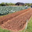 Stockfoto: Agriculturist work in field cabbage.