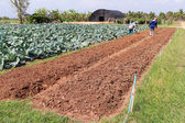 Agriculturist work in field cabbage. — Stock Photo