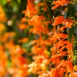 Close up Orange trumpet, Flame flower, Fire-cracker vine — Stock Photo #41459183