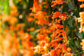 Close up Orange trumpet, Flame flower, Fire-cracker vine — Stock Photo