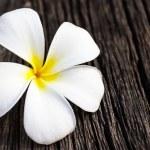 Plumeria or frangipani. — Stock Photo #41591135