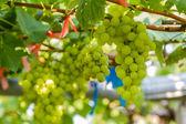 Fresh green vineyards. — Stock Photo