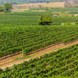 Stock Photo: Vineyards landscape  in Thailand.