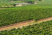 Vineyards landscape  in Thailand. — Stock Photo