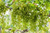 ぶどう狩り、新鮮な緑のブドウ畑. — ストック写真