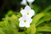 Plumeria Pudica. — Stock Photo