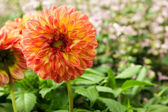 Orange dahlia flower. — Stock Photo