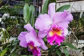 Цветок орхидеи, цветок орхидеи Каттлея розовый. — Стоковое фото