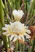 White torch ginger flower ( Etlingera elatior). — Stock Photo