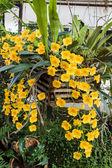 Espèces d'orchidées dendrobium orange jaune lindleyi. — Photo