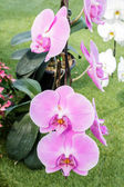 Phalaenopsis,orchid flower. — Stock Photo