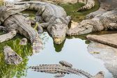 Big wildlife crocodiles . — Stock Photo