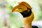 Great hornbill. — Stock Photo