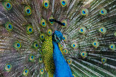Bright color peacock. — 图库照片