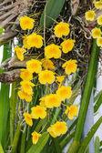 Orchid Species Yellow Orange Dendrobium lindleyi.  — Stock Photo