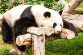 Панда. — Стоковое фото