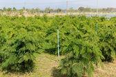 Acacia pennata tree,Thailand. — Stockfoto
