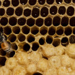 Honeycomb with honey and young bee. — Stock Photo