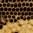 Honeycomb with honey and young bee. — Stock Photo #44405649