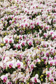 Blooming orchid - phalaenopsis — Stock Photo