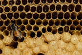 Honeycomb with honey and young bee. — Стоковое фото