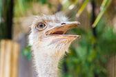 Ostrich head closeup. — Stock Photo