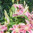 Pink Blossoming lilies. — Stock Photo #44789803