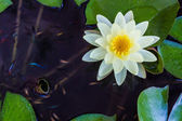 Yellow lotus flower or water lily flowers. — Stock Photo