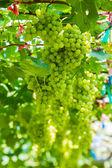 Grape farm. — Stock Photo
