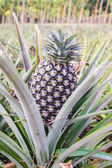 Pineapple fruit farm. — Stockfoto