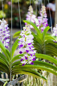 Purple orchid flower, Rhynchostylis. — Stock Photo