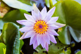 Purple lotus flower or water lily flowers. — Stock Photo