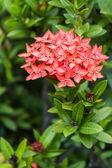 Orange flowers of rubiaceae tree (Jungle geranium ,Ixora coccine — Stock Photo