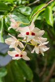 Dendrobium pulchellum, ,orchid flower in bloom. — Stock Photo