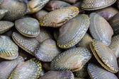 Closeup fresh raw Surf clam background. — Stock Photo