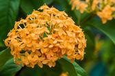 Blooming yellow Ixora flowers. — Stock Photo