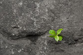 Small green plant growing between stones. — Stock Photo