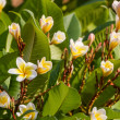 Plumeria or frangipani blossom on the plumeria tree. — Stock Photo #51442677