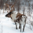 Stock Photo: Reindeer in its natural environment in scandinavia