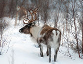 Reindeer in its natural environment in scandinavia — Stock Photo