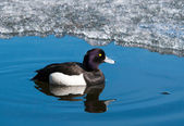 Male Tufted duck swimming on a lake — Stockfoto
