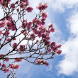 Stock Photo: Blossoming magnolia