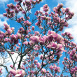 Blossoming a magnolia  — Stock Photo