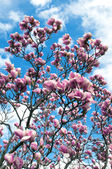 Blossoming a magnolia — Stock Photo