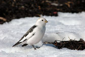 Snow bunting (Plectrophenax nivalis) facing harsh wind in winter — Stock Photo