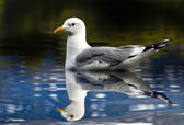 A portrait of a herring gull (larus argentatus ) — Stock Photo