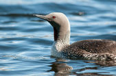 Red-throated Loon — Stock fotografie