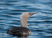 Red-throated Loon — Stock Photo