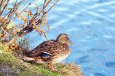 Mallard Duck Close-Up — Stock Photo